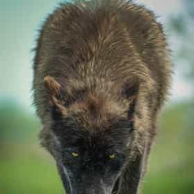 Fenrir Greyback