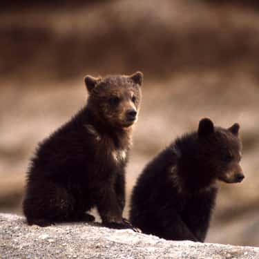 Thomas Jefferson Raised Twin Grizzly Cubs While President