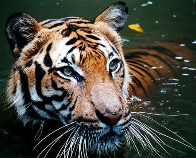 Tiger is listed (or ranked) 1 on the list The Biggest and Best Big Cats