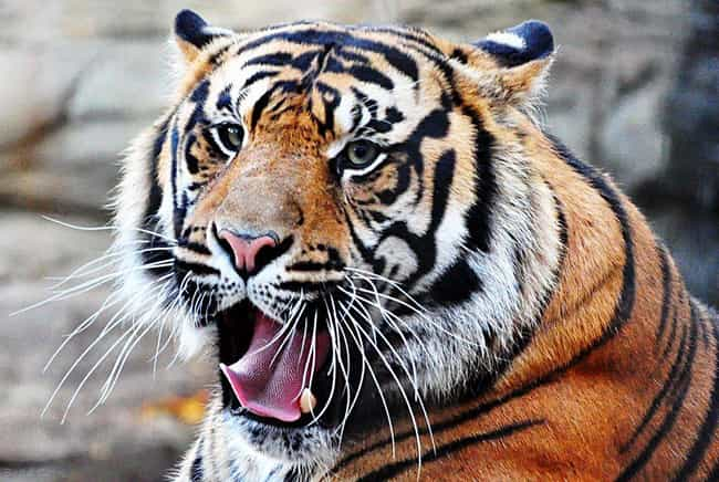 Tiger is listed (or ranked) 1 on the list The Most Charismatic Megafauna