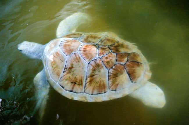 Turtle is listed (or ranked) 5 on the list 38 Incredible Albino (and Leucistic) Animals