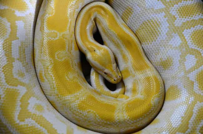 Boa Constrictor is listed (or ranked) 3 on the list What The Different Colors Of Snake Are Trying To Tell You