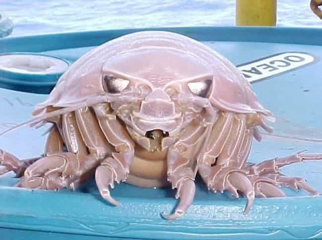 Taurus (April 20 - May 20) is listed (or ranked) 2 on the list Which Scary AF Deep Sea Creature Are You, Based On Your Zodiac?