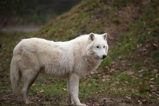 Wolf is listed (or ranked) 4 on the list The World's Most Beautiful Animals