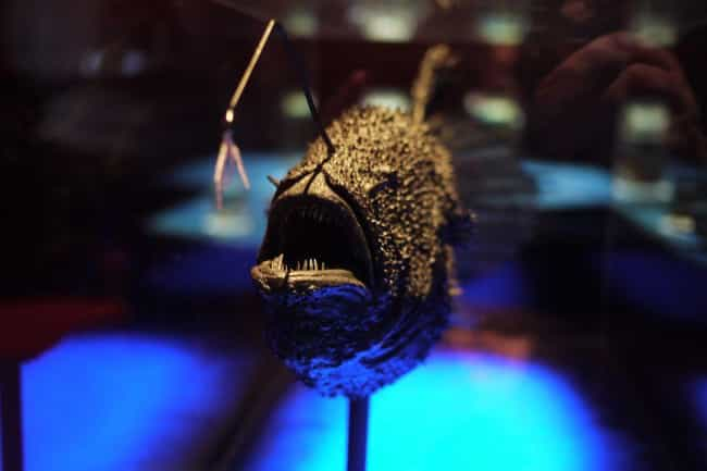 Anglerfish is listed (or ranked) 1 on the list 15 Animals Who Have Insanely Violent Sex
