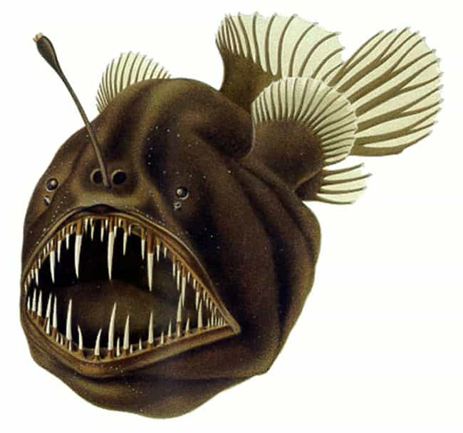 Anglerfish is listed (or ranked) 3 on the list 15 Oddly Terrifying Animal Mouths That Are Upsetting To Even Look At