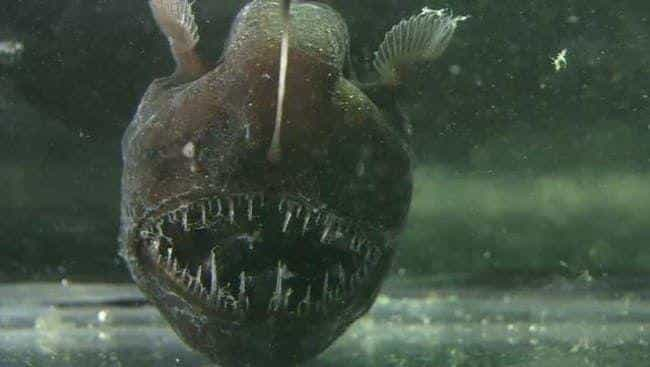 Anglerfish is listed (or ranked) 1 on the list The Scariest Creatures Currently Lurking In The Deep Sea, Ranked By How Horrifying They Are