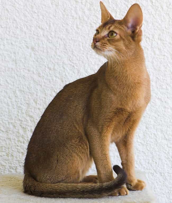 Aries (March 21 - April 19) is listed (or ranked) 1 on the list Which Cat Breed Should You Get Based On Your Zodiac Sign