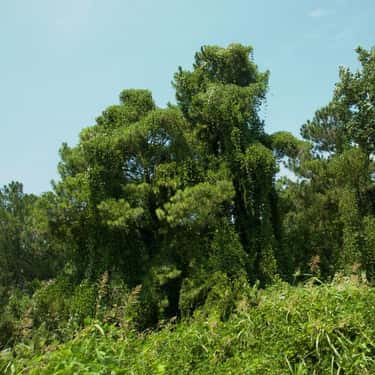 Kudzu is listed (or ranked) 1 on the list The Most Damaging Invasive Species in the World