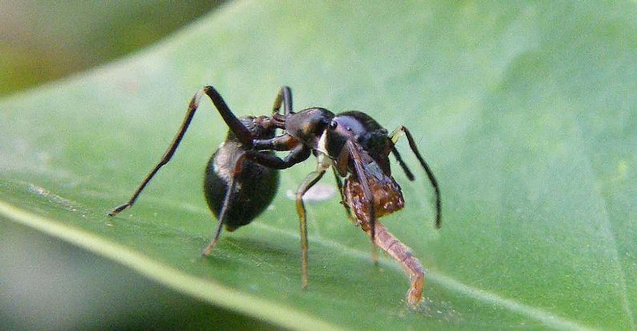 Ants is listed (or ranked) 2 on the list Animals That Are Served as Food... Alive!