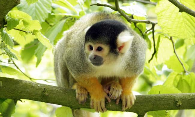 Marmoset is listed (or ranked) 12 on the list 28 Cute Animals That You Don't Want To Mess With