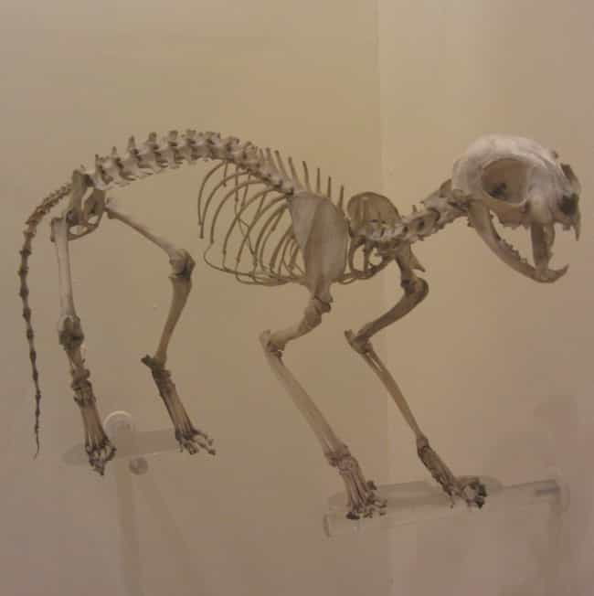 Cat is listed (or ranked) 2 on the list Here's What the Skeletons of All Your Favorite Cute Animals Look Like