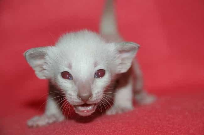 Cat is listed (or ranked) 3 on the list Rare Photos Of Albino Baby Animals