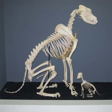 Dog is listed (or ranked) 1 on the list Here's What the Skeletons of All Your Favorite Cute Animals Look Like