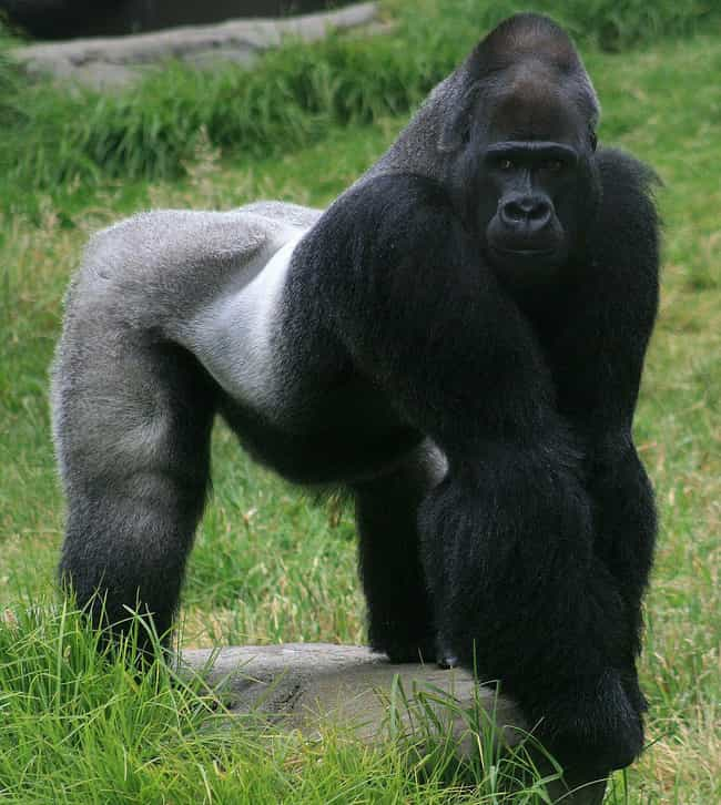 Gorilla is listed (or ranked) 4 on the list The Strongest Animals in the World
