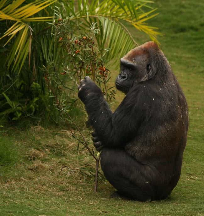 Gorilla is listed (or ranked) 1 on the list Animals Who Have Same Sex Partners