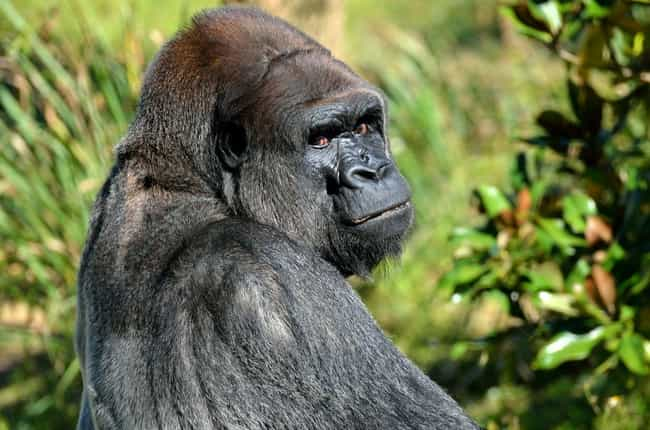 Gorilla is listed (or ranked) 1 on the list 10 Incredible Animals That Scientists Initally Didn't Believe Were Real