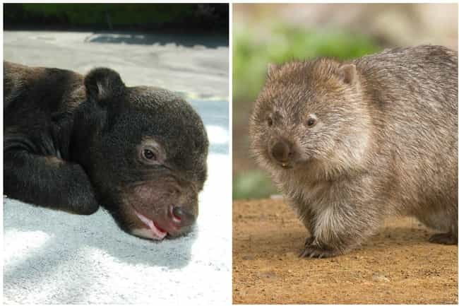 Wombat is listed (or ranked) 3 on the list 15 Pictures Of Animals As Babies Vs. When They're Fully Grown