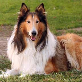 Collie is listed (or ranked) 22 on the list The Very Best Dog Breeds, Ranked