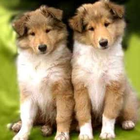 Collie is listed (or ranked) 4 on the list The Best Dog Breeds for Families