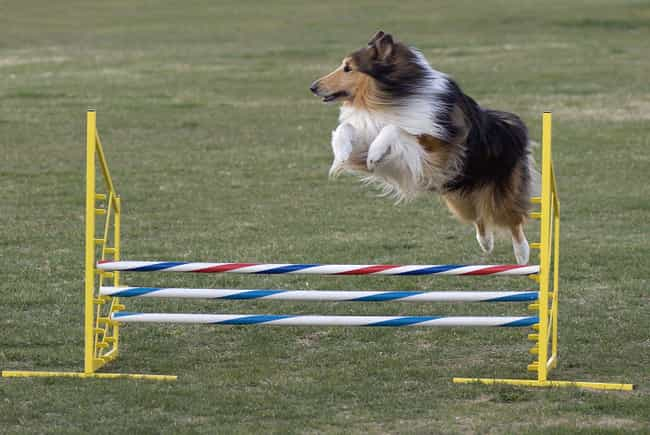 Collie is listed (or ranked) 1 on the list The Most Popular Dog Breed In The US During Every Decade Since 1900