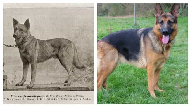 German Shepherd Dog is listed (or ranked) 4 on the list Fascinating Photos Of What Dog Breeds Looked Like 100 Years Ago Versus Today