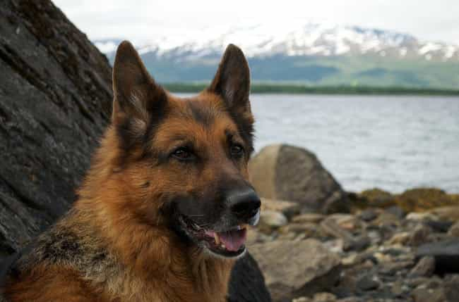 German Shepherd Dog is listed (or ranked) 3 on the list These Are The Most Intelligent Dog Breeds, According To Research