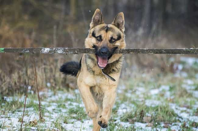 German Shepherd Dog is listed (or ranked) 2 on the list Which Dog Breeds Would Be Sorted Into Which Hogwarts Houses?