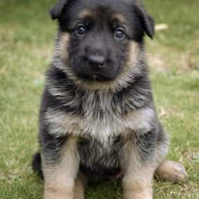 German Shepherd Dog is listed (or ranked) 19 on the list The Best Dogs for Hiking