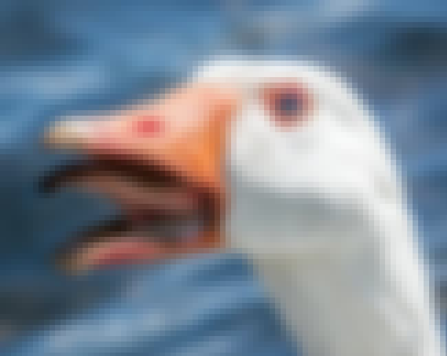 Goose is listed (or ranked) 2 on the list 15 Oddly Terrifying Animal Mouths That Are Upsetting To Even Look At