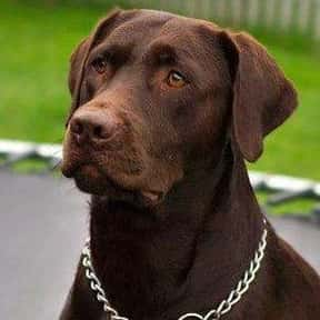 Labrador Retriever is listed (or ranked) 1 on the list The Best Dog Breeds for Families