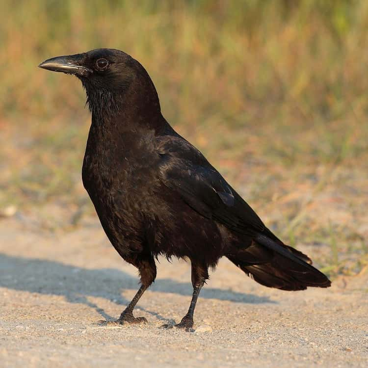 Crows have been known to visit their aging parents even after they've left the nest.