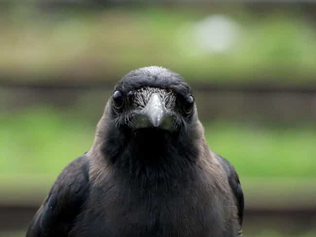 Crow is listed (or ranked) 1 on the list 14 Fascinating, Borderline Unbelievable Animal Brains
