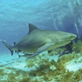Bull Shark is listed (or ranked) 9 on the list The Scariest Animals in the World