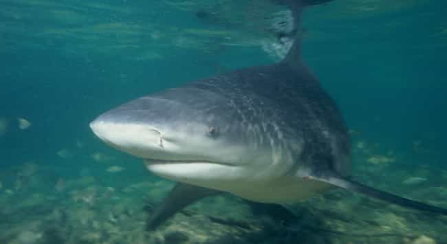 Bull shark is listed (or ranked) 1 on the list The Scariest Types of Sharks in the World