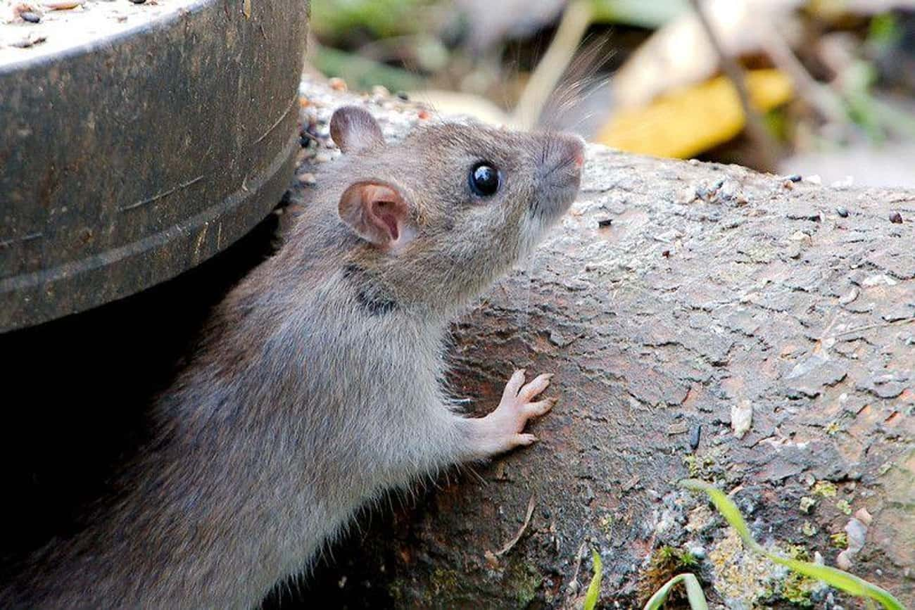 Rats is listed (or ranked) 1 on the list 13 Animals That Have Adapted To Thrive In Cities