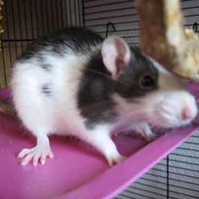 Rat is listed (or ranked) 15 on the list The Best Pets for Kids