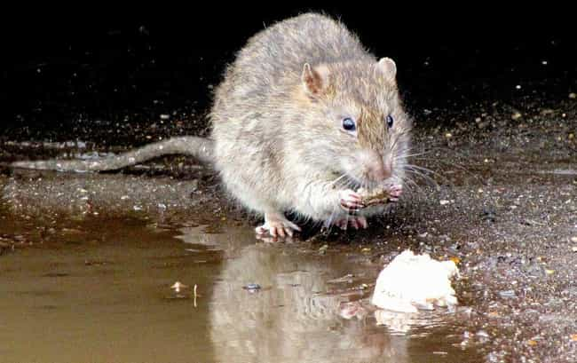 Rat is listed (or ranked) 1 on the list 13 Animals That Have Adapted To Thrive In Cities