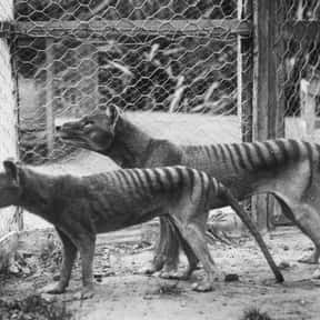 Thylacine (Tasmanian Tiger) is listed (or ranked) 2 on the list Which Extinct Species Would You Bring Back From The Dead?