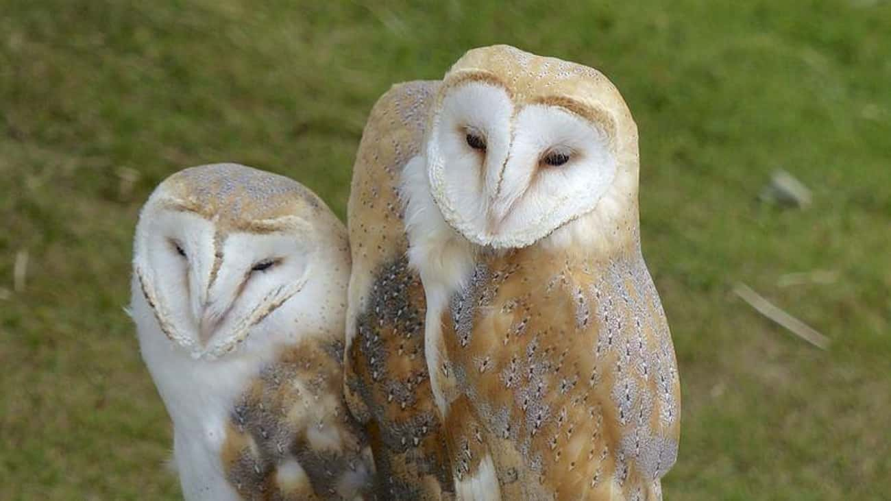Barn Owls is listed (or ranked) 3 on the list 13 Monogamous Animals That Mate For Life