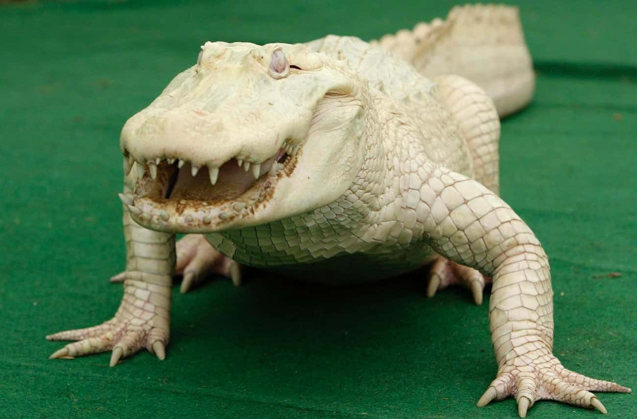 Alligator is listed (or ranked) 2 on the list 38 Incredible Albino (and Leucistic) Animals