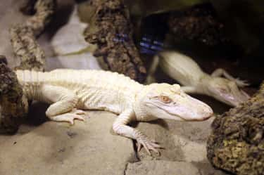 This Cute Little Alligator Has is listed (or ranked) 2 on the list Rare Photos Of Albino Baby Animals
