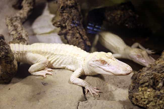 Alligator is listed (or ranked) 2 on the list Rare Photos Of Albino Baby Animals
