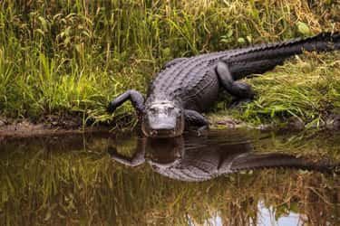 Alligator is listed (or ranked) 1 on the list The Weirdest Animals You Can Legally Own In The US