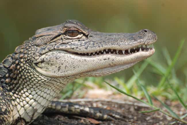 Alligator is listed (or ranked) 6 on the list 13 Wild Animals That Cause Serious Problems In Florida