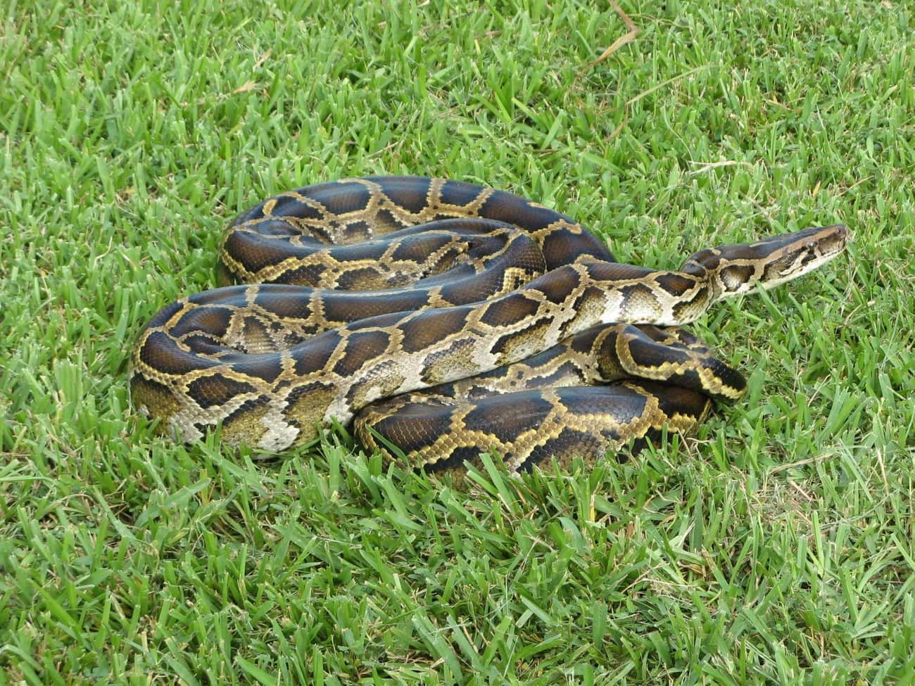 Snakes Do Not Mess Around is listed (or ranked) 1 on the list Animals That Devour Their Prey In Just One Bite