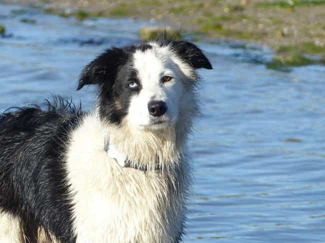 Border Collie is listed (or ranked) 1 on the list These Are The Most Intelligent Dog Breeds, According To Research