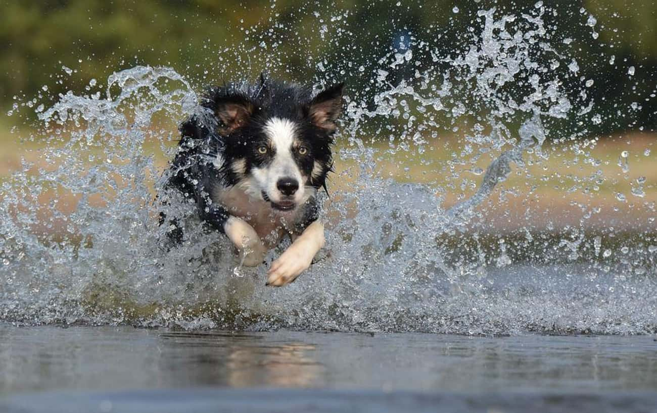 Border Collie – Ravenclaw is listed (or ranked) 1 on the list Which Dog Breeds Would Be Sorted Into Which Hogwarts Houses?
