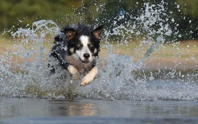 Border Collie is listed (or ranked) 1 on the list Which Dog Breeds Would Be Sorted Into Which Hogwarts Houses?