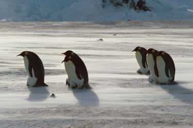Emperor Penguin Dads Go Throug is listed (or ranked) 2 on the list Dads Of The Animal Kingdom Who Are Truly The Best